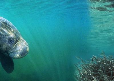 Schwimmen mit den Manatees